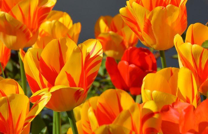 tulips 1261142 960 720